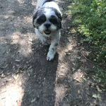 Meg the Shih Tzu