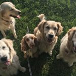 Four Golden Retrievers and one Cocker Spaniel
