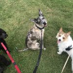 Three dogs on lead