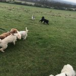 Cockerpoo, Poodles and Jack Russell.