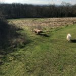 Two dogs being walked in the meadow.
