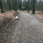 Amelie the English Springer Spaniel in the forest.