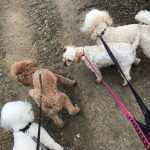 Three Poodles and a Cavapoo being walked.