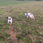 Two Springer Spaniels on their daily walk.