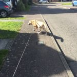 Labrador being street walked.