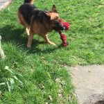 German Shepard playing with toy.